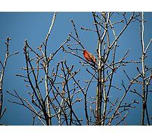 Lone Cardinal  Photographic Print