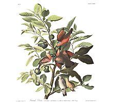 Ground Dove - John James Audubon  Photographic Print