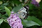 Caper White Butterfly : Belenois java by Trish Meyer