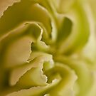 Carnation Macro by Sandra Foster