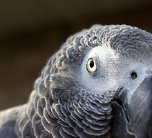African Grey Parrot by ashleylewisart