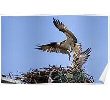 Osprey feeding babys Poster