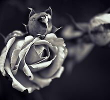 Yesterday's Rose Endures. by eXparte-se