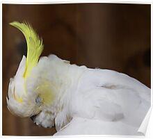 sleeping cockatoo Poster