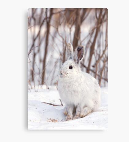 Snowshoe hare (Lepus americanus) in winter Canvas Print