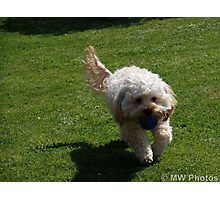Cream Cockapoo Photographic Print