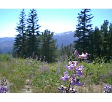 Mammoth Mountain Lupine Flowers Photographic Print