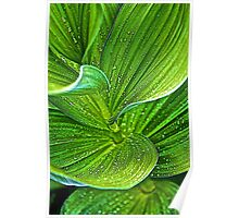Skunk Cabbage Leaves Poster