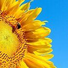 Sunflowers by raphael