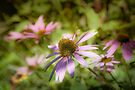 Echinacea - textured by PhotosByHealy