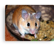 Curious Hamster Canvas Print