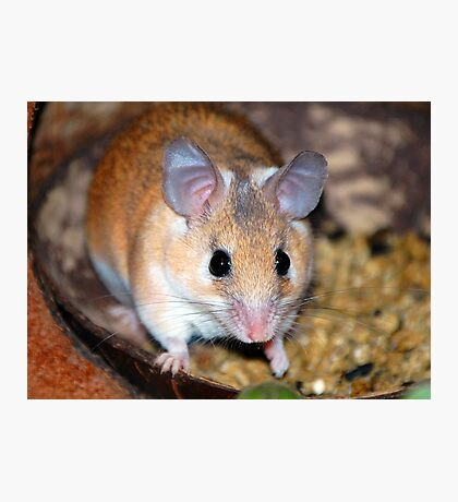 Curious Hamster Photographic Print