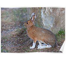 Snowshoe hare (Lepus americanus) in Spring Poster