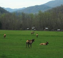 Elk at Oconaluftee Visitor Center - GSMNP by Katherine Fries