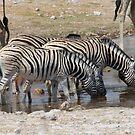 Zebras in Namebia by Gilberte