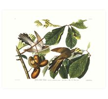 Yellow-billed Cuckoo  - John James Audubon Art Print