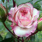 Rose with buds by Ana Belaj