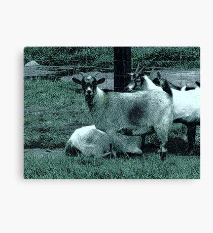 Farm Goats Canvas Print