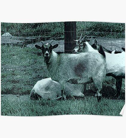 Farm Goats Poster