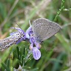 Common Grass Blue Butterfly, Salt & Pepper moth on Rosemary Flower. by Rita Blom