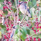Cedar Waxwing Pair In Berries by Deb Fedeler
