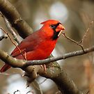 Cardinal in the Woods  by lorilee