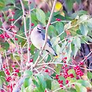 Cedar Waxwing In Berries by Deb Fedeler