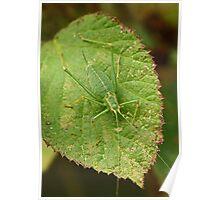Speckled Bush Cricket Poster