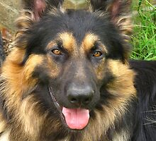 YOUNG MALE GERMAN SHEPHERD by JUDI2008