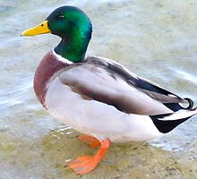 Mallard Duck by ©The Creative  Minds