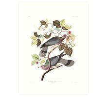 Band-tailed Pigeon - John James Audubon Art Print