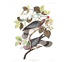 Band-tailed Pigeon - John James Audubon Photographic Print