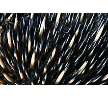 Australian short-beaked echidna Photographic Print