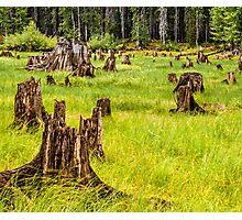 Field of stumps Photographic Print