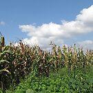 Corn Field In Deer Land by branko stanic