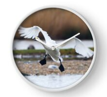 Bewicks swan about to land on water with wings outspread Clock