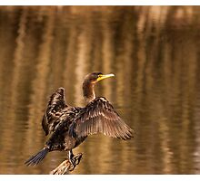 Cormorant perch and stretch Photographic Print