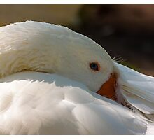 Goose stays comfortable Photographic Print