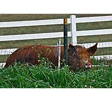Mrs Piggy Photographic Print