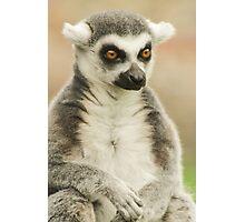 Contemplating Lemur Photographic Print