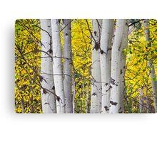Colorful Autumn Aspen Tree Colonies Canvas Print