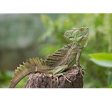 Iguana in terrarium sitting on a branch Photographic Print