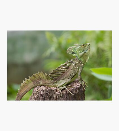 Iguana in terrarium sitting on a branch Photographic Print