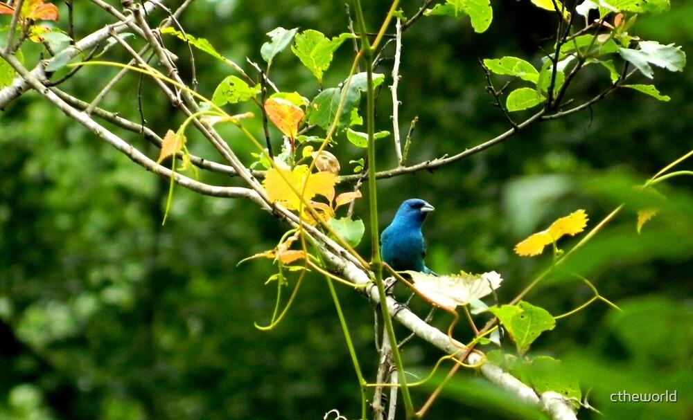 A BEAUTIFUL BLUE BIRD   ^ by ctheworld