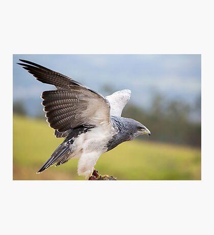 American Bald Eagle landing in Otavalo, Ecuador Photographic Print