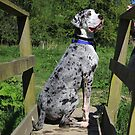 Great dane on footbridge by turniptowers