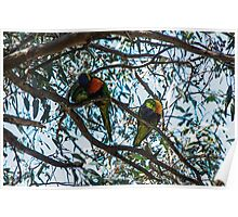 Parrots in gum tree Leith Park Victoria 20161108 7717  Poster
