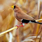 MASKED FINCH by Raoul Madden