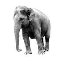 Indian Elephant. Wildlife Digital Engraving Image Photographic Print