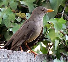 Olive Thrush in my garden by Elizabeth Kendall